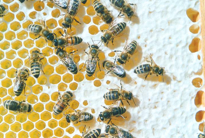 Bienen auf teilweise verdeckelten Honigwaben